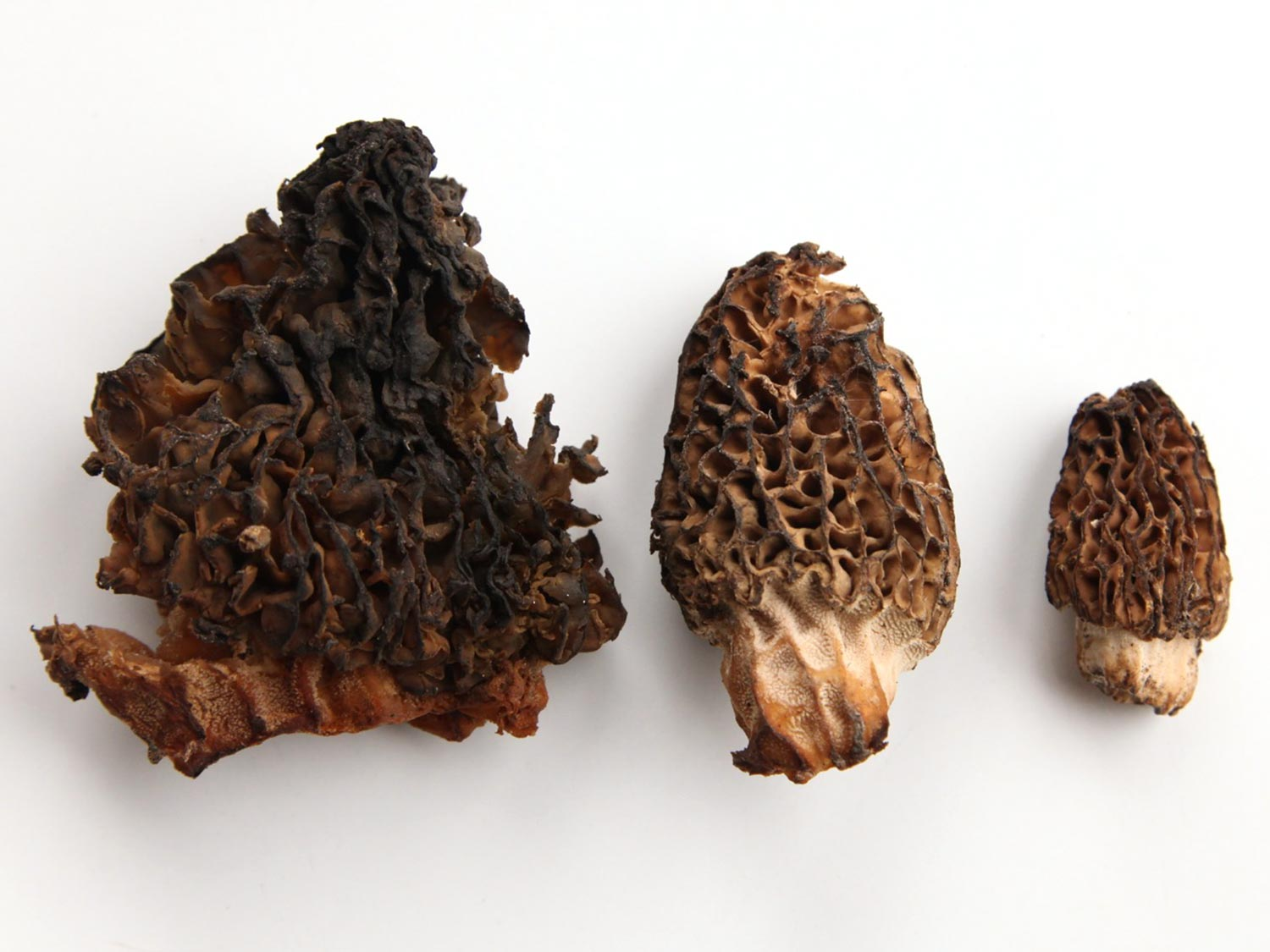 Three morel mushrooms on white background